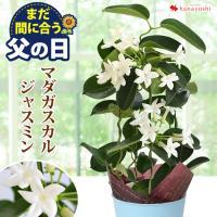 純白のお花と豊かな香りが人気♪丈夫なので初心者のにも安心してお贈り下さい♪ <br>&l...