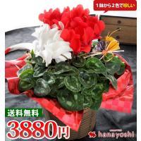 冬の花ギフトはこれに決まり! 色鮮やかな花が真心を伝えます♪ 紅白の花色はお祝い事にピッタリ! 【内...