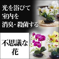 最大500円クーポン 光触媒 卓上型胡蝶蘭 奏(かなで)