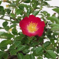 赤花ノバラ宴 山野草
