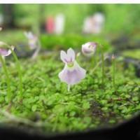 青花ウサギゴケ 山野草   6〜7.5cmポット苗です。  2月現在 青花ウサギ苔は開花していません...