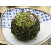 青花ウサギゴケ苔玉 直径約7cmです。  苔玉にはハイゴケを使用しています。  時期を違え白花も咲く...
