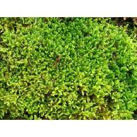 ハイゴケ・這苔 苔玉作りに最適です