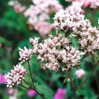 フジバカマ 山野草   秋の七草の一つ。栽培容易で初心者向き。水切れに注意・茶花