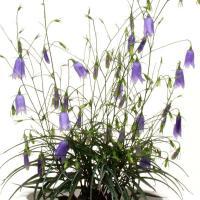 イワシャジン 岩沙参  秋に紫色の釣鐘状花が下垂して咲く様はすぱらしい・茶花  10.5cmポット苗...