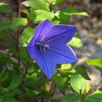 キキョウ 桔梗  山野草   紫花。秋の七草。  切り花、茶花