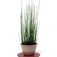 ミズトクサ  山野草  7.5cmポット苗です。 夏緑性で姫トクサより少し大きくなります。冬は葉がな...