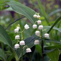 日本スズラン 山野草   ポット苗 2〜3芽入り    日本のスズランの花は葉に隠れるように咲く、茶...