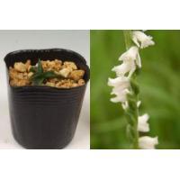 ネジバナ<白花>日本産 山野草   7.5cmポット苗です。  白花モジズリとも呼ばれます。ラン科の...