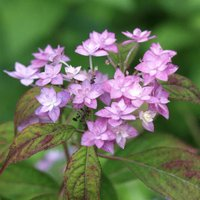 ヤマアジサイ七段花 シチダンカ  山野草   9cmポット苗です。  六甲産。装飾花が八重咲きのよう...