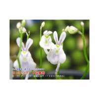 ウサギ苔 ウサギゴケ 6cmポット苗。 山野草・食虫植物  まるでウサギの顔のような花が咲きます。...
