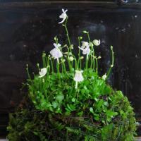 ウサギゴケ苔玉 食虫植物・マジカルプランツ  人気のウサギゴケを苔玉にしました  苔玉にはハイゴケを...