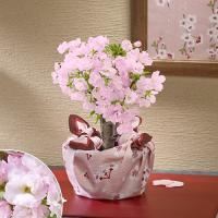 ボリュームがよい整った樹形にする為に、二本の枝を幹に接ぎ木した特別な仕立ての珍しい桜鉢です。旭山桜は...