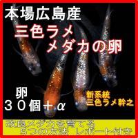 広島産 三色ラメ めだか 卵 30個 レインボー 虹色 光る メダカ 最高級