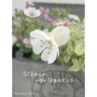 【当店農場生産】シレネ ユニフローラ バリエガータ 斑入り  9cmポット苗