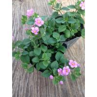 【当店農場生産】バコパコピア グレートクラシックピンク 9cmポット苗 宿根草垂れるように咲く♪