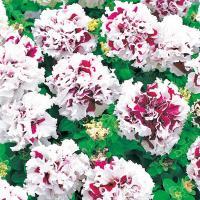 【100円均一】八重咲きペチュニア ピロエット パープル(花なし苗) 9cmポット苗 毎年咲く強いペチュニア!耐寒性宿根草♪