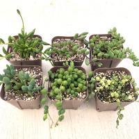 多肉植物 ネックレス系6種セット