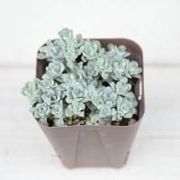 多肉植物 セダム 白雪ミセバヤ(スパツリフォリウム) 7.5cmポット苗