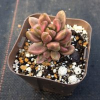 多肉植物 エケベリア チョコレート錦 7.5cmポット苗