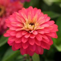 【当店農場生産】ジニア ダブルザハラ サーモン 9cmポット苗 かわいいお花が咲きます♪