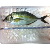 シマアジ 活〆 1〜1.2kg 鯵 あじ  活〆とは・・・ 活魚を血抜きし、死後の身に血が回るのを防...