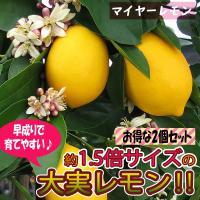 レモン苗 マイヤーレモン 果樹苗 9cmポット 2個セット 人気の柑橘類の苗 送料無料