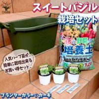 お買い得!栽培セット スイートバジル ハーブの苗  9cm〜10.5cmポット苗 お買い得3個セット  送料無料