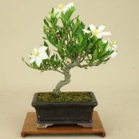 【商品名】 クチナシ / 梔子 -清誉- (ミニ盆栽)  クチナシの品種の中でも特に細葉性で、花付、...