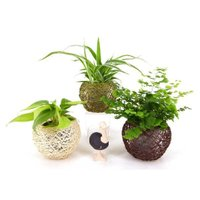 麻ボールM キュート 2号苗 観葉植物/ハイドロカルチャー/水耕栽培/インテリアグリーン