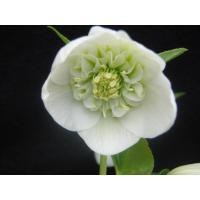 クリスマスローズ ホワイトセミダブル 花、ガーデニング その他花、ガーデニング (4101)