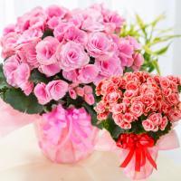 ・におい桜鉢植え  - 5号鉢(鉢直径15cm)  - 高さ:約30cm(鉢底より)  ・アザレア鉢...