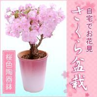 《商品説明》  ■商品内容  特上株さくら盆栽 桜色陶器鉢 -5号陶器鉢(鉢直径15cm) -高さ:...