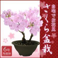 桜盆栽 さくら盆栽 特上株 6号 陶器鉢 自宅でお花見さくら盆栽♪
