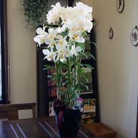 純白の蘭 フォーミーデブル デンドロビューム 送料無料 鉢植え ギフト