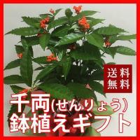 金運縁起物 千両 せんりょう の鉢植えギフト 送料無料 お正月飾りに