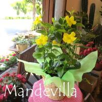 この季節にレモン色のお花が涼しげなマンデビラ サマーブーケ♪  春から秋にかけて次々と色鮮やかなお花...