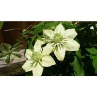 お庭にもよく馴染むステキな白・グリーン系の万重咲きのクレマチス。   ※重要 5月14日当日着の注文...
