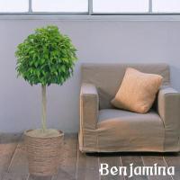 年中無休、即日発送の輝華 人気が高い観葉植物のひとつのベンジャミン 樹形がとっても素敵なトピアリー形...