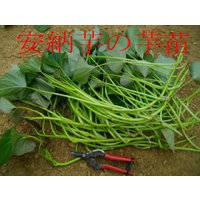 今からが最適な植え時期 好評販売中 ◆さつまいも苗◆ 甘い安納芋(あんのういも) サツマイモ苗 10本 切り芋苗
