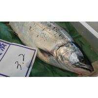 北海道産さくらます2尾(2.5~3.5kg前後)〔B〕北港直販〔代引き不可〕サクラマス・鱒・マス
