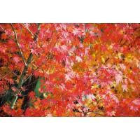 イロハモミジ(紅葉)苗木「庭木」 30~50cm前後