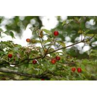 ヤマボウシ(山法師)苗木「庭木」 30~50cm前後