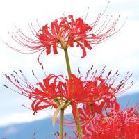 学名 Lycoris radiata 商品情報 秋の彼岸頃に燃えるように真っ赤な花を咲かせる、日本の...