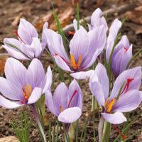 学名 Crocus sativus 商品情報 とっても強健な性質で、なんと水や土がなくても栽培可能!...