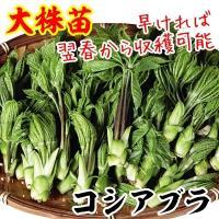 早ければ翌年より収穫可能 商品情報 山菜の王者「タラノキ」よりもコクと香りが濃厚!天ぷら・和え物・煮...