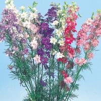 種 花たね 千鳥草美色混合 1袋(200mg)