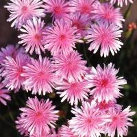 種 花たね モモイロタンポポ 1袋(80mg) / 花種 花の種 はなたね 桃色タンポポ 桃色蒲公英 クレピス 千本蒲公英 千本タンポポ センボンタンポポ 切花向き