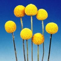 種 花たね クラスペディア 1袋(50mg) / 花種 花の種 はなたね クラスペディア・グロボーサ ドラムスティック 鉢 花壇 プランター 切花向き ドライフラワー