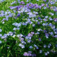 種 花たね ネメシア ブルー 1袋(50mg) / 花種 花の種 はなたね 鉢植え向き 鉢向き 花壇向き プランター向き 鉢・花壇向き ブルーガーデン 青い花